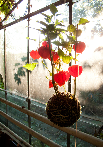 Röd mossbollsväxt