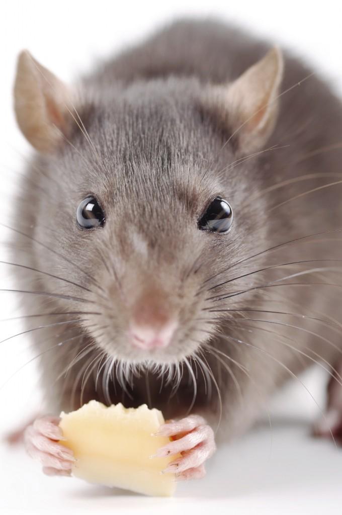 Råtta som ohyra i hemmet