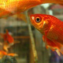 Fiskar som flyttas med akvarium