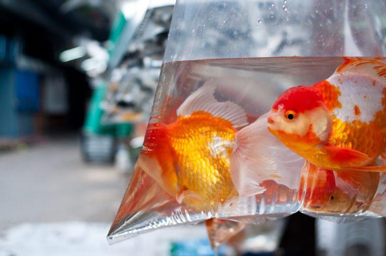 Tips flytta fiskar och akvarium